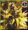 Big Buddha Cheese Dawg Female 5 Marijuana Seeds